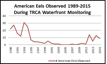 Chart showing a recent increase in the number of American Eels observed on TRCA properties