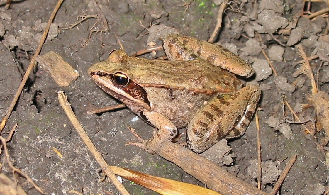 A frog photographed by the TRCA terrestrial monitoring team in a wetland area