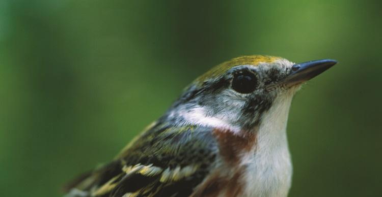 Close-up of a warbler