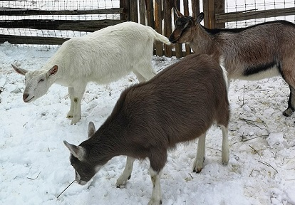 heritage breed goats in pen at Black Creek Pioneer Village in winter