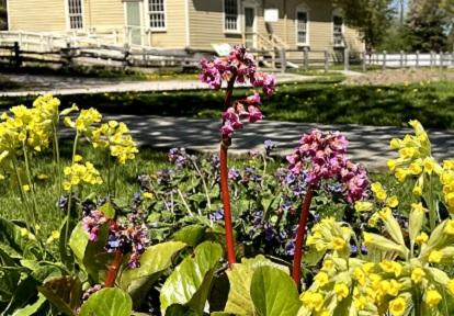 flowers bloom in garden at Black Creek Pioneer Village