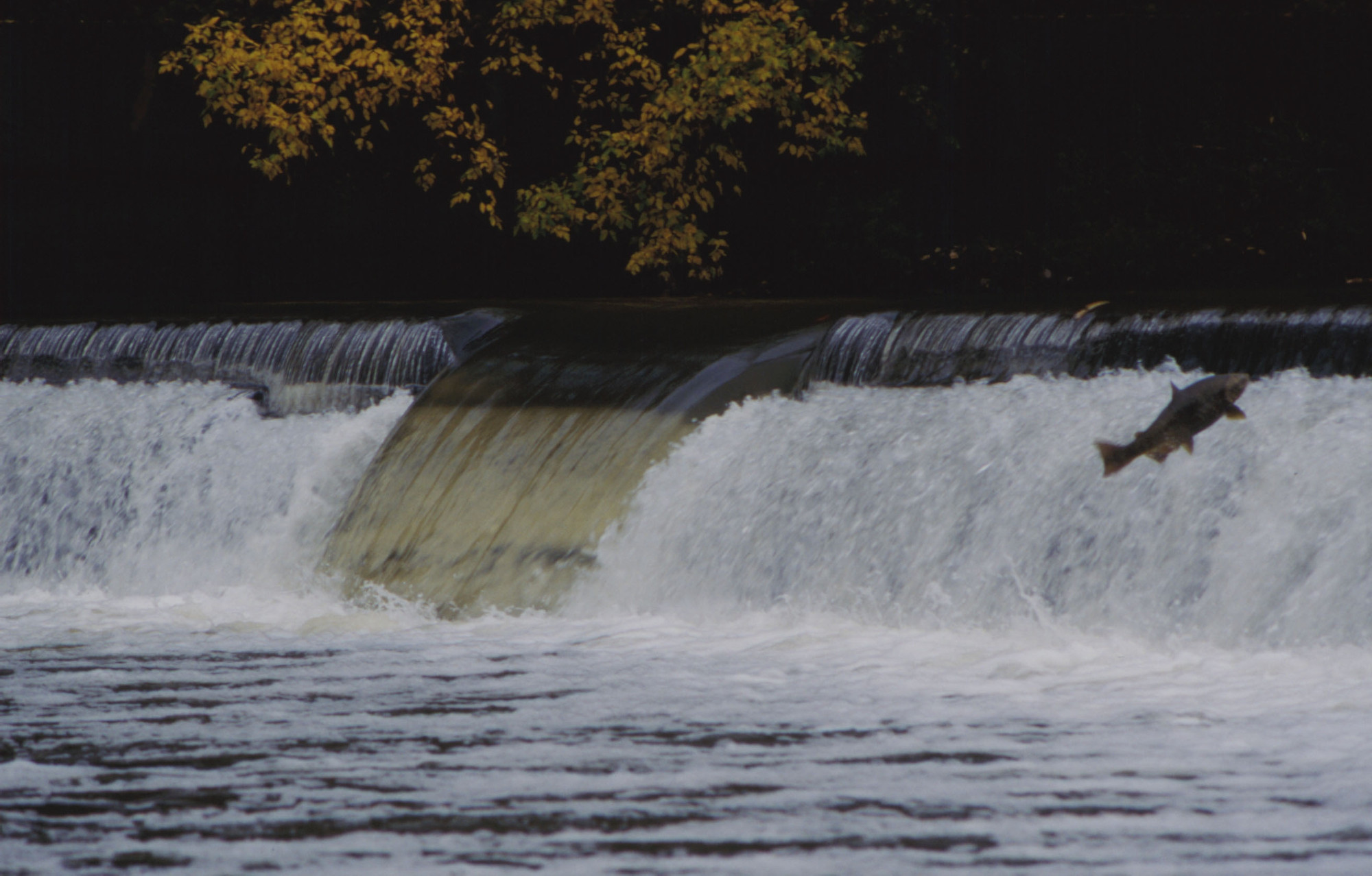 Humber River fish migration Chinook salmon