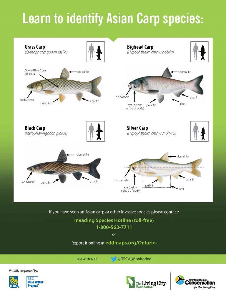 TRCA environmental monitoring invasive species Asian Carp