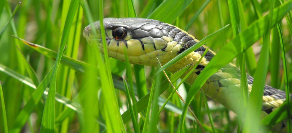 garter snake in the grass