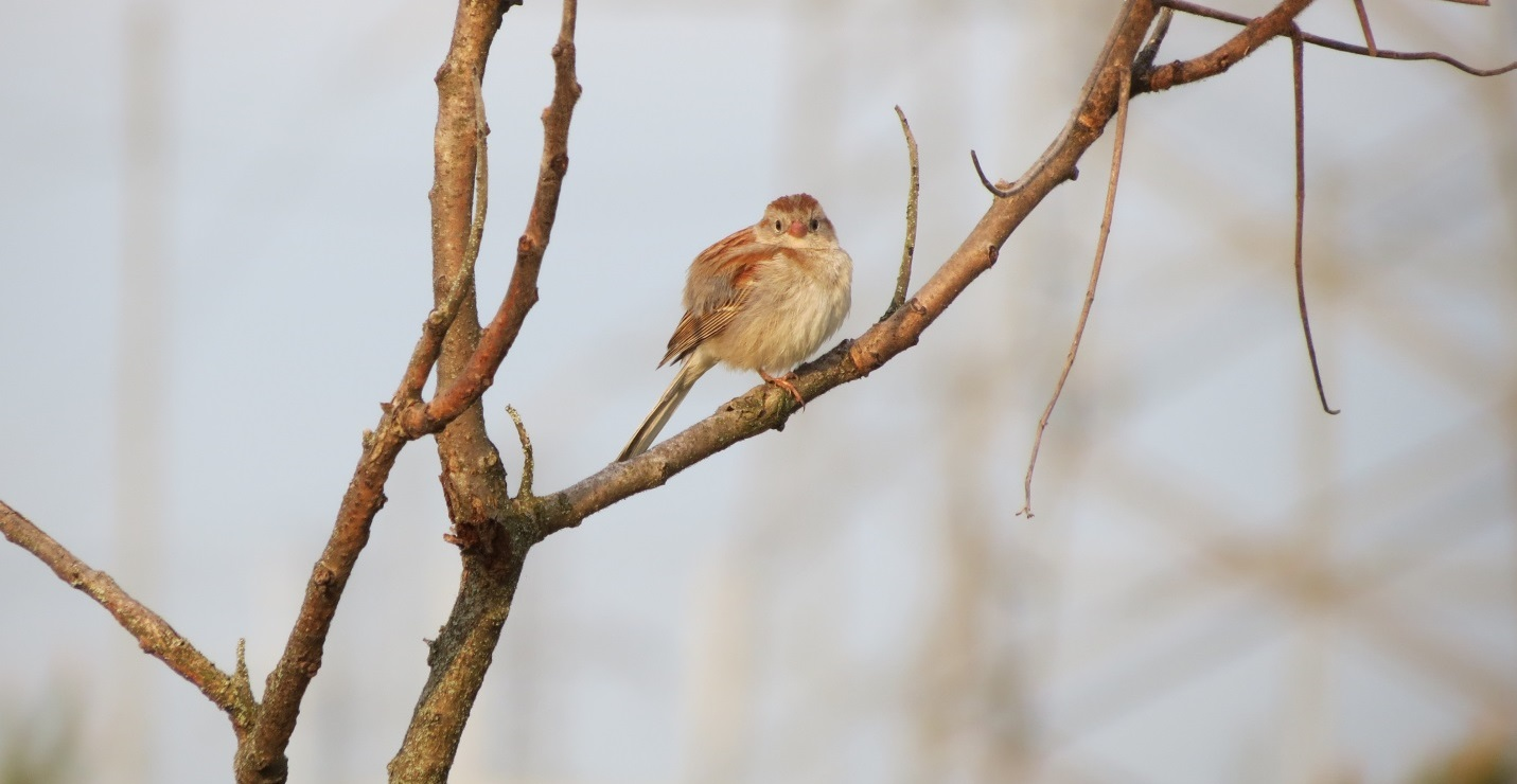 field sparrow is an example of local flora and fauna in TRCA watersheds