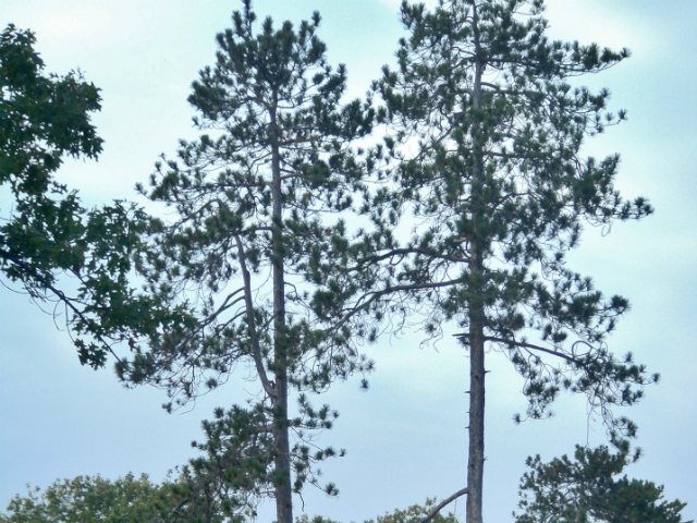 red pine tree is an example of local flora and fauna