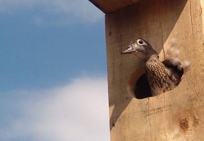 duck in a wooden shelter