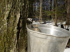Maple syrup, tree tap