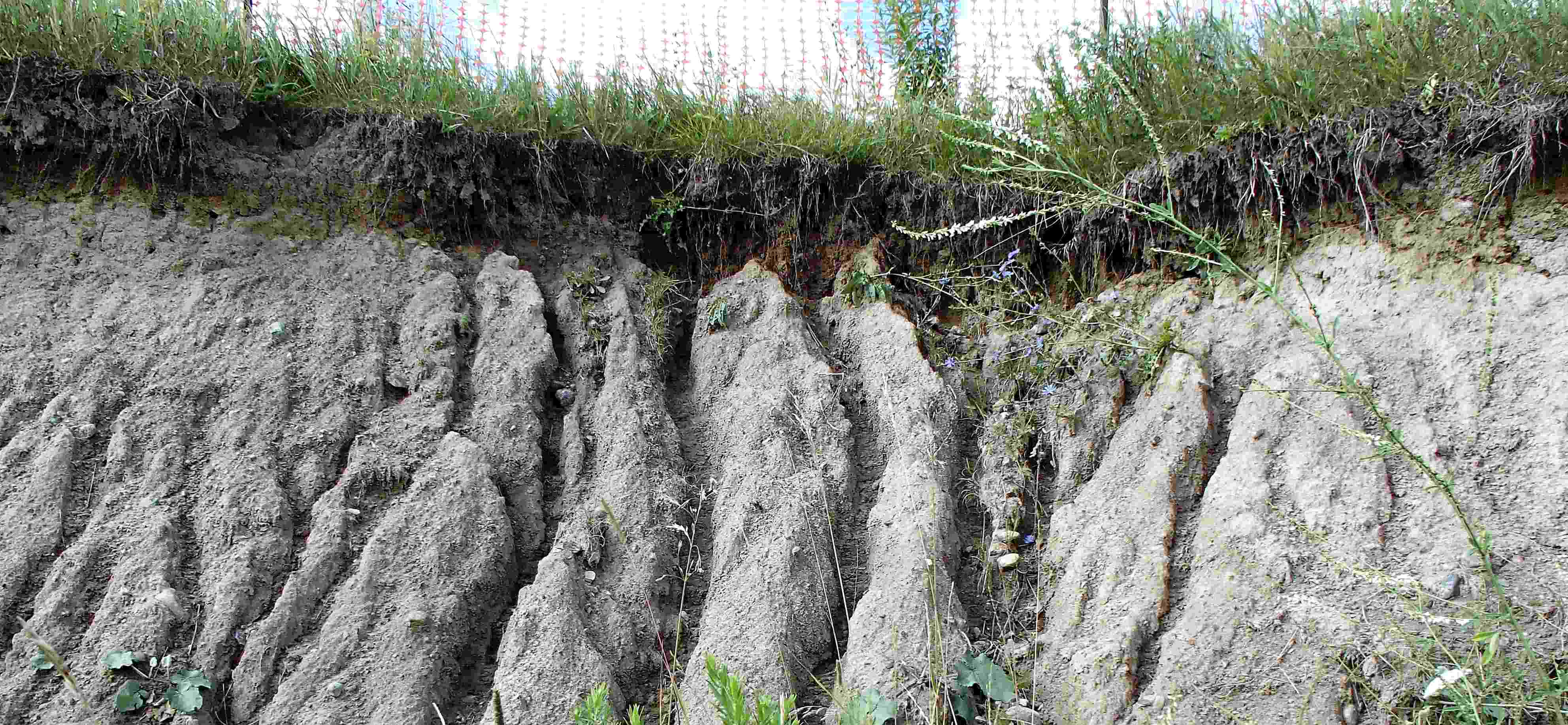 This image is a front facing view of an eroding bank where grass turf is located at the top of the bank. The face of the slope features deep furrows called rill erosion which has resulted from water runoff being directed towards the unprotected slope face.