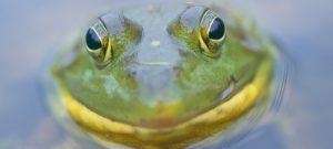 Frog Watch @ Online Webinar - Ages 6+