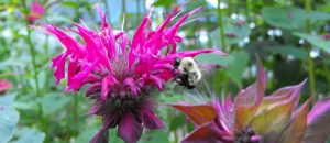 Bumble Bee Watch @ Private Event - Online Webinar