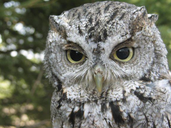 An owl up close