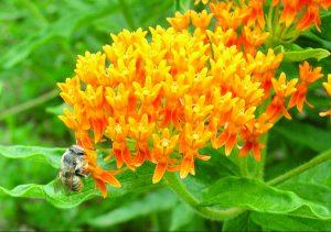Butterfly Milkweed (Asclepias tuberose)
