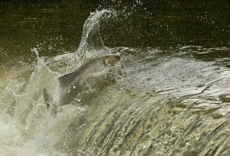 Salmon jumping in the river