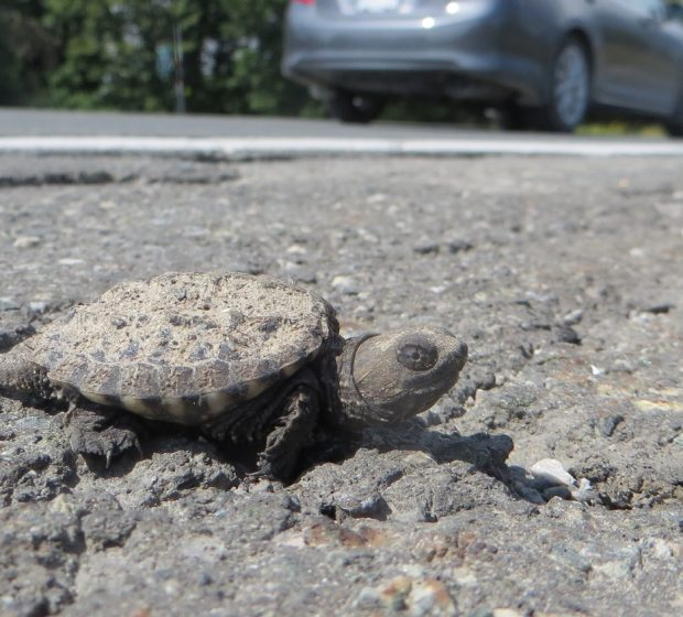 Crossings and Connectivity: How TRCA's Road Ecology Work Helps Native Species