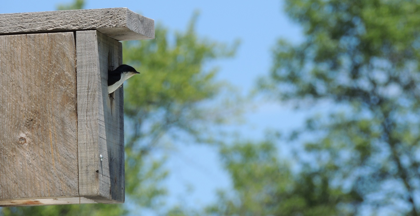 tree swallow in wooden nesting box