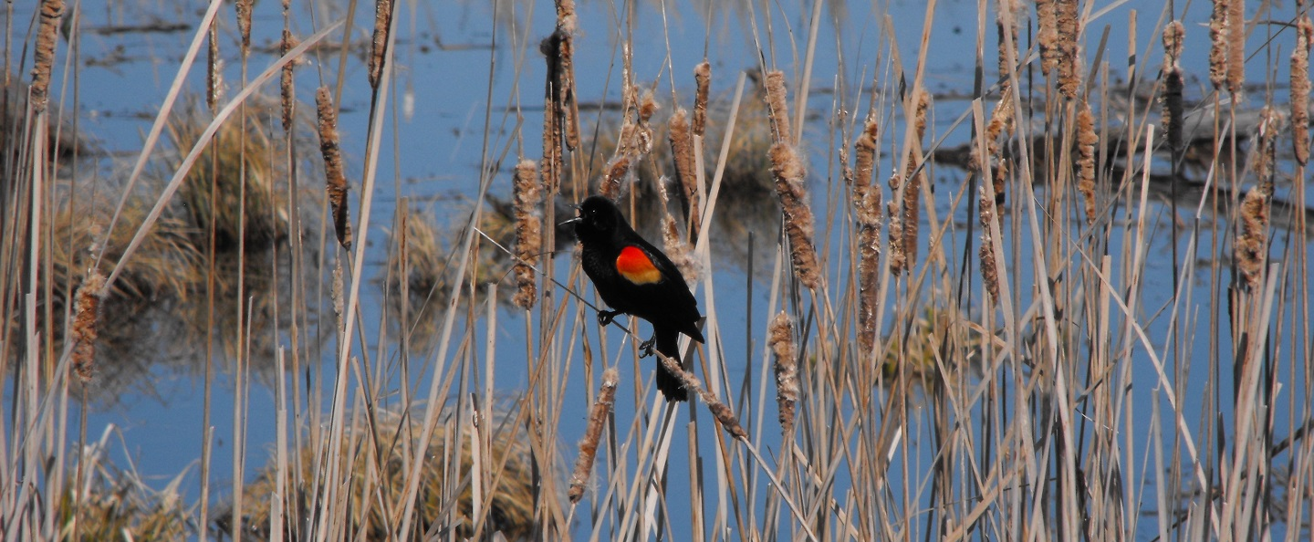 red-winged blackbird in wetland