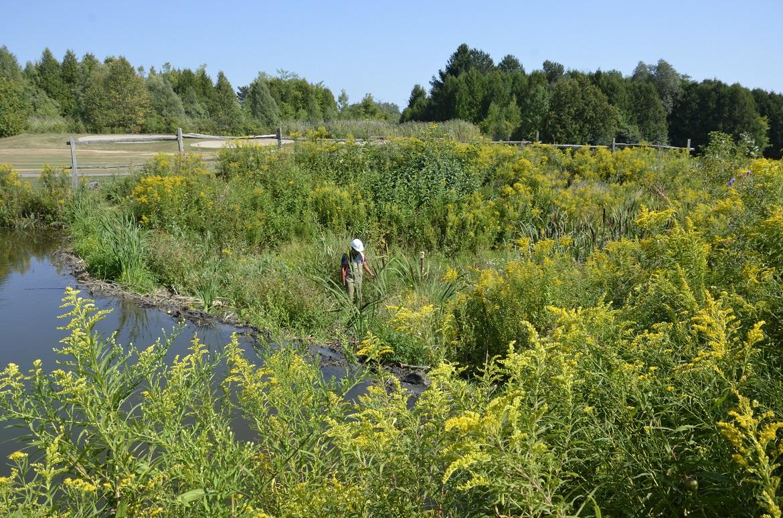 TRCA staff member assesses a natural barrier beaver dam
