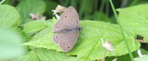 Gardening for Birds, Butterflies and Beyond @ Online Webinar - General Audience