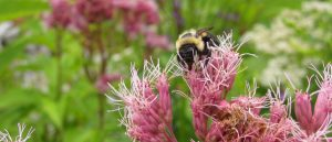 Bumble Bee Watch @ Private Event- Online Webinar