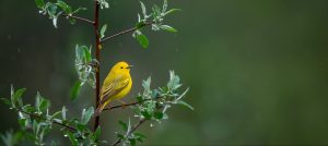 Bird Sounds: Understand your feathered neighbours @ Private Event- Online Webinar