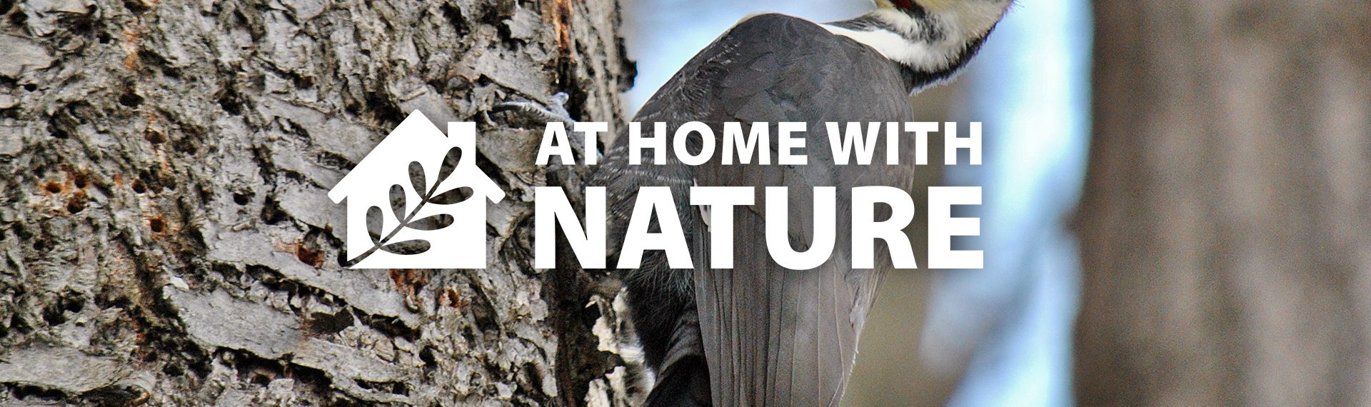Pileated woodpecker - At Home With Nature