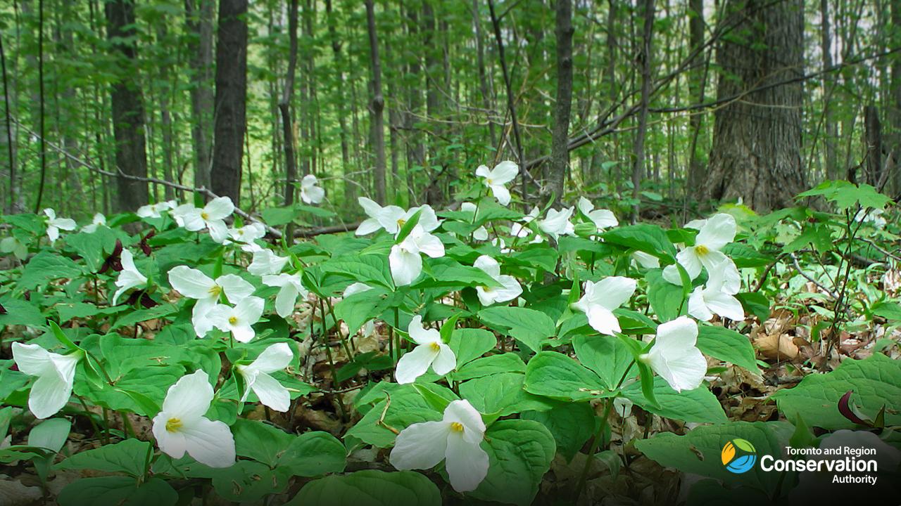 trilliums bloom along trail