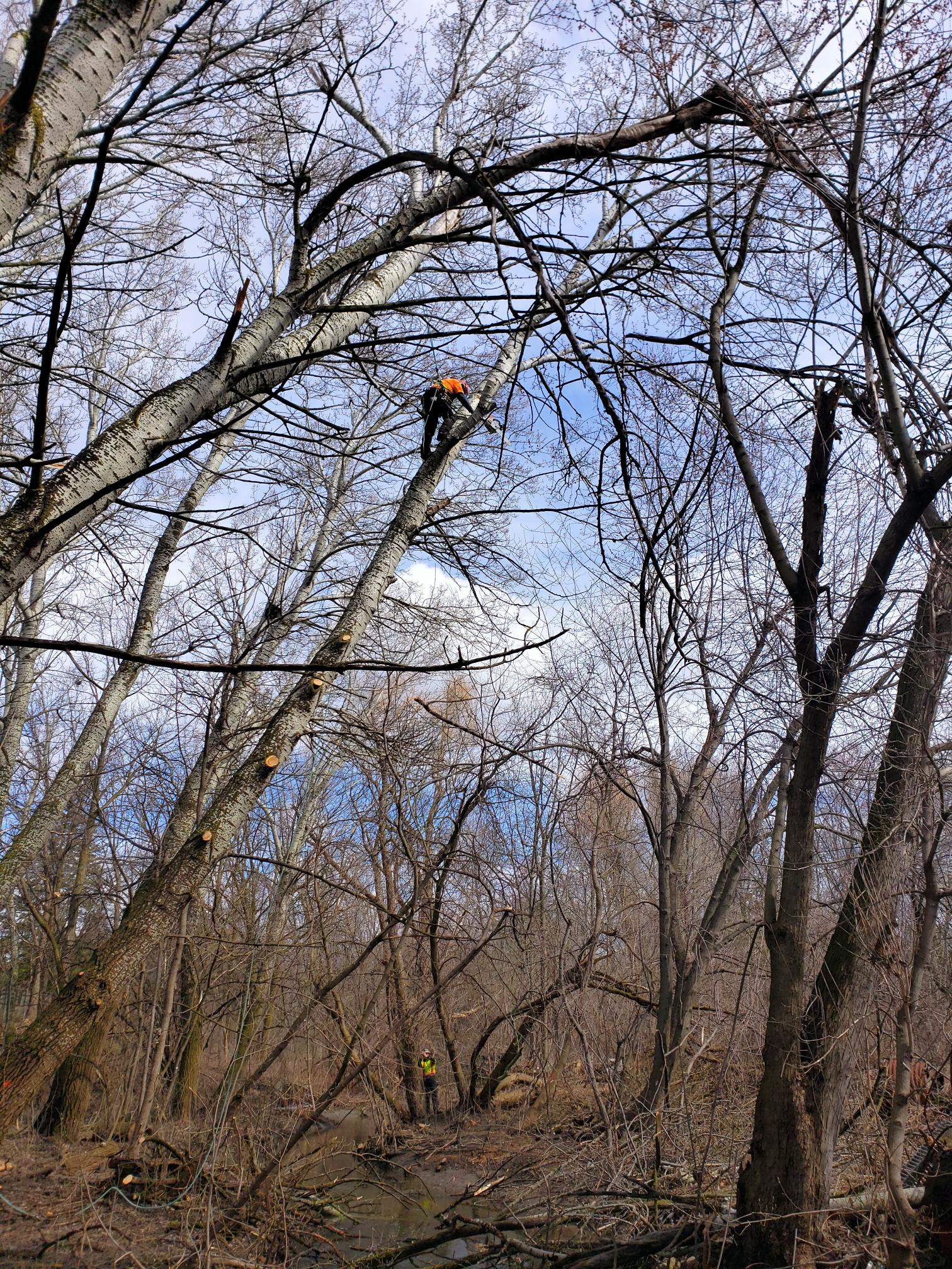 TRCA crew member conducting tree removal work