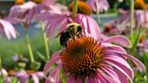 Bumble Bee Watch @ Online Webinar - Ages 6+