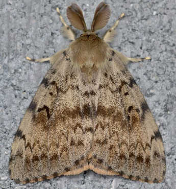 LDD moth adult male