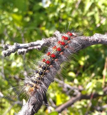 LDD moth caterpillar