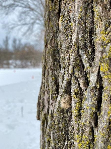 LDD moth egg mass on tree trunk