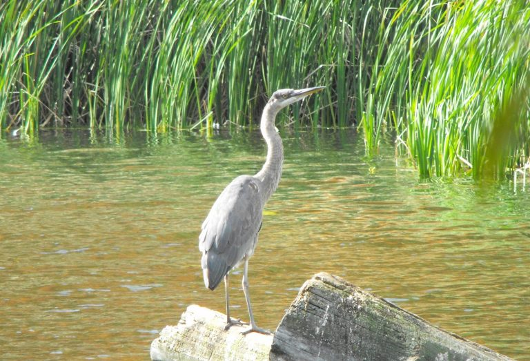 blue heron in wetland