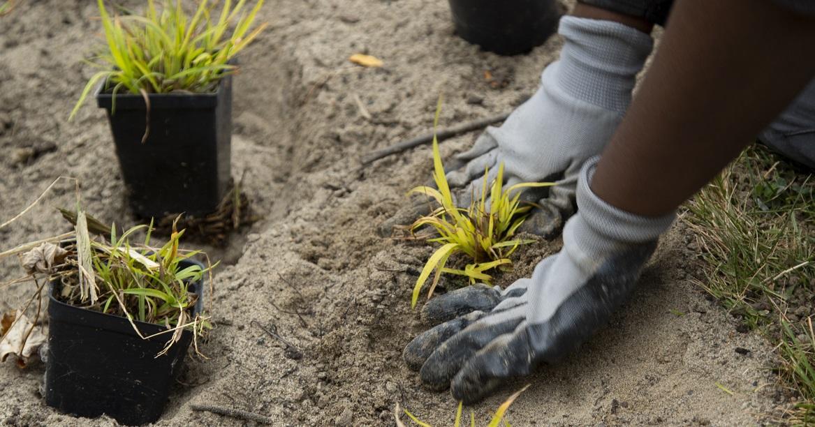 homeowner plants rain garden