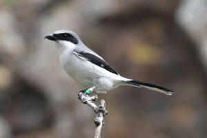 The Reintroduction Story of the Eastern Loggerhead Shrike: Returning an Endangered Songbird to Ontario's Grasslands @ Online Webinar - Ages 6+