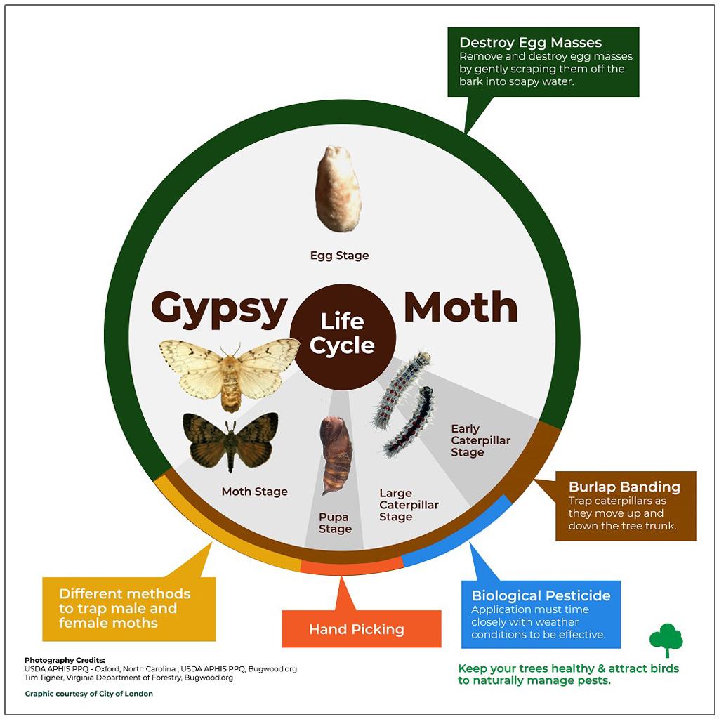 LDD Moth Life Cycle