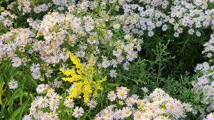 asters bloom in meadow area of the Oak Ridges Conservation Reserve