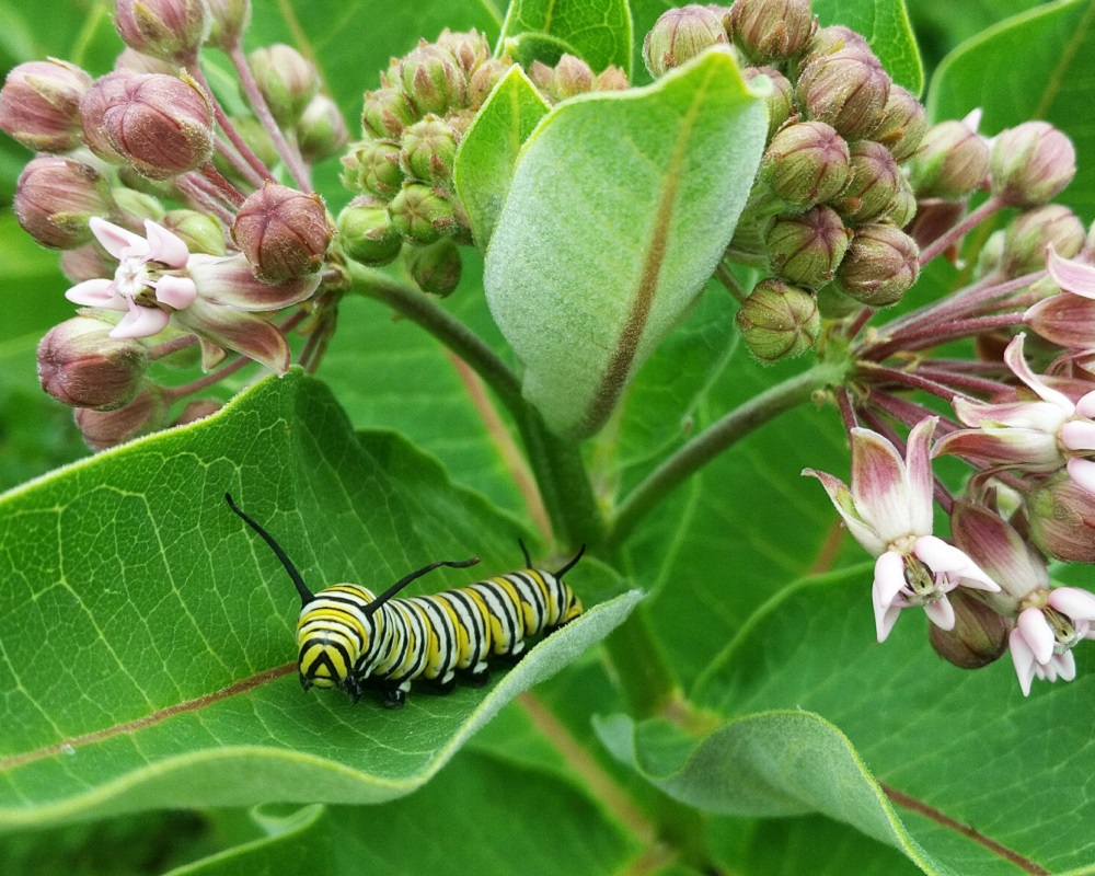 monarch butterfly caterpillar on leaf of milkweed plant