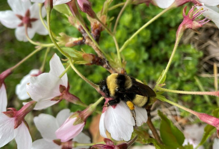 Yellow banded bumble bee collecting pollen from a flower