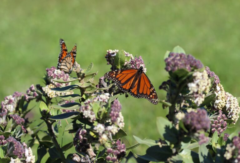 A monarch butterfly on milkweed