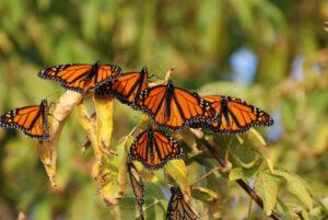 Milkweeds and Monarchs at Claremont @ Claremont Nature Centre