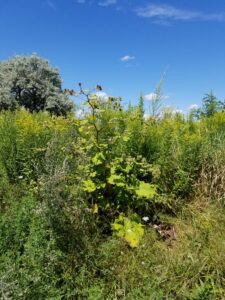 Common Burdock Removal at Tommy Thompson Park